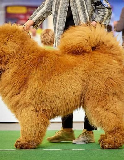 photo tibetan mastiff dog